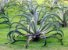 Agave Polvo - 1 Muda - Cultivo Livre De Agrotóxico! - Imagem 2