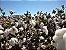 Algodoeiro - 1 Muda - Cultivo Livre De Agrotóxico! - Imagem 2