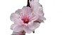 Cerejeira Ornamental - Sakura - Mudas Com 50cm - Imagem 1