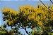 Candeia Amarela - 1 Muda - Cultivo Livre De Agrotóxico! - Imagem 2