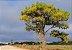Candeia Amarela - 1 Muda - Cultivo Livre De Agrotóxico! - Imagem 1