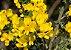 Giesta - 1 Muda - Cultivo Sem Agrotóxico! - Imagem 1