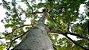 Maçaranduba - 1 Muda - Cultivo Sem Agrotóxico! - Imagem 1