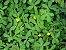 Grama Amendoim - 1 Muda - Cultivo Livre De Agrotóxico! - Imagem 1