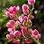 Amor Agarradinho - 1 Muda - Cultivo Sem Agrotóxico! - Imagem 2