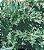 Losna / Absinto - 6000 Sementes - Isla - Imagem 1
