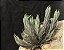 Combo Tillandsia tricholepsis (Leve 3 pague 2) - Imagem 2