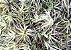 Combo Tillandsia bergeri (Leve 3 pague 2) - Imagem 2
