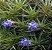 Combo Tillandsia bergeri (Leve 3 pague 2) - Imagem 1