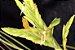Combo Tillandsia distichia (Leve 3 pague 2) - Imagem 1