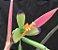 Billbergia distichia - Imagem 1