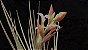 Tillandsia paraibensis (Air Plant) - Imagem 3