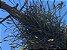 Tillandsia recurvata (Air Plant) - Imagem 4