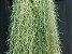 Tillandsia usneoides Var Brasil Cinza (Air Plant) - Imagem 1