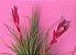 Tillandsia tenuifolia (Air Plant) - Imagem 3