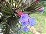 Tillandsia tenuifolia (Air Plant) - Imagem 5