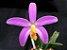 Hoffmannseggella lucaciana - Imagem 3