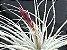 Tillandsia tectorum (Air Plant) - Imagem 1