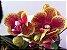 Phalaenopsis Domadinho - Imagem 1