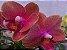 Phalaenopsis Orange Love - Imagem 4