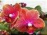 Phalaenopsis Orange Love - Imagem 1