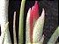 Tillandsia paucifolia (Air Plant) - Imagem 4
