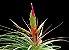 Tillandsia tricolor (Air Plant) - Imagem 1