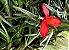 Tillandsia albertiana (Air Plant) - Imagem 1