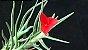Tillandsia albertiana (Air Plant) - Imagem 3