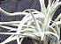 Tillandsia cardenasii (Air Plant) - Imagem 1
