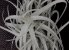Tillandsia tectorum x paleacea (Air Plant) - Imagem 1