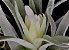 Tillandsia plagiotropica (Air Plant) - Imagem 1