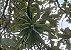 Tillandsia streptophylla (air Plant) - Imagem 7