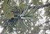 Tillandsia streptophylla (air Plant) - Imagem 8