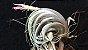 Tillandsia piauiensis (Air Plant) - Imagem 1