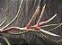 Tillandsia pseudobaileyi (Air Plant) - Imagem 5