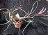 Tillandsia pseudobaileyi (Air Plant) - Imagem 1