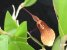 Restrepia elegans - Imagem 1