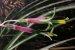 Billbergia nutans - Imagem 1