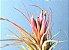 Tillandsia scaposa (Air Plant) - Imagem 7