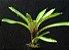 Vriesea splendens - Imagem 1