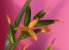 Catopsis nutans - Imagem 1