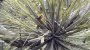 "Tillandsia remota ""Quetzaltepeque"" (Air Plant) - Imagem 2"