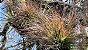 "Tillandsia remota ""Quetzaltepeque"" (Air Plant) - Imagem 1"