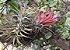 """Tillandsia ionantha """"Quetzaltenango""""(Air Plant) - Imagem 2"""