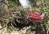 """Tillandsia ionantha """"Quetzaltenango""""(Air Plant) - Imagem 1"""