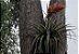 "Tillandsia ponderosa ""Sacatepec"" - Imagem 3"