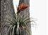 "Tillandsia ponderosa ""Sacatepec"" - Imagem 1"