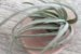 Tillandsia arroyoensis (Air Plant) - Imagem 2