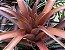 """Tillandsia capitata """"Sonora"""" (Air Palnt) - Imagem 1"""